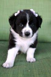 australian shepherd and border collie had a border collie aussie shepherd mix who looked similar to his