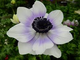 anemones flowers anemones plant care and collection of varieties garden org