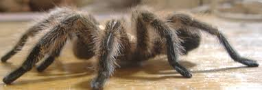 tarantulas how to breed poecilotheria regalis indian