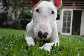 new hampshire miniature bull terrier rescue