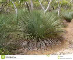 australia native plants yacka or blackboy plants royalty free stock photos image 36586658