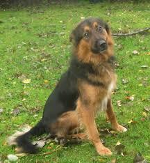 belgian shepherd x border collie black german shepherd border collie mix google search puppy