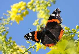 butterflies u0026 moths national insect week