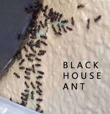 Small Black Ants In Bathroom Sink Black House Ants