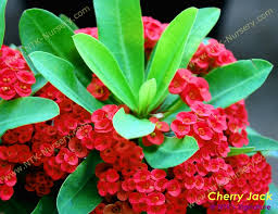 ornamental plants and euphorbia milii plant cherry buy in bangkok