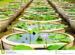 Lily Flower Garden - water lily flower garden royalty free stock image image 31545076
