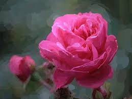 flowers painting pink blooming flower beautiful nature roses