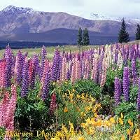 Mountain Backdrop Feral U0027 Lupines With Mountain Backdrop Photo Wp01740