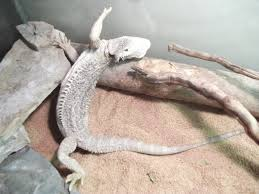 Bearded Dragon Behavior Before Shedding by Is Your Dragon Sleeping Too Much Not Eating Enough Read Me