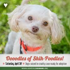 shi poo shih poo adoption event asheville humane society