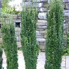 small ornamental evergreen trees for landscaping totime club