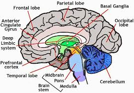 Image Of Brain Anatomy Brain Anatomy Diagram Anatomy Picture Reference And Health News