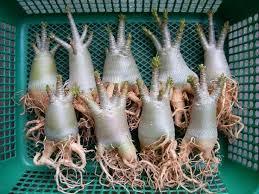 73 best caudex plants images on succulent plants