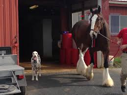 Budweiser Clydesdale Barn World Famous Budweiser Clydesdales Arrive At Penn National Horse