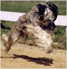 afghan hound pictures afghan hound racing from hounds of the world bruce tanner