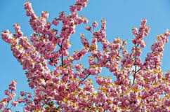 flowering almond tree stock photos 1 087 images