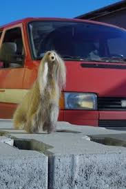 afghan hound club of st louis afghan hound puppy love pinterest take care of yourself