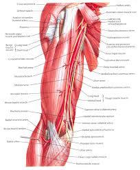 arm blood vessels anatomy choice image learn human anatomy image