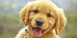 puppy thanksgiving free puppies forever seeing eye dogs australia