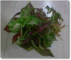 How To Grow Coleus Plants by Growing Coleus From Cuttings How To Grow Coleus From Cuttings