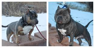 american pitbull terrier 5 months old american bully puppy in hoobly classifieds