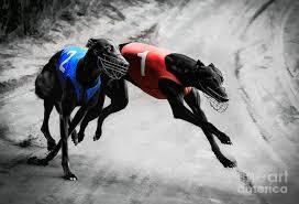 afghan hound saddle hound archives national purebred dog day