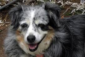 australian shepherd wolf in memory of our pack wanagi wolf fund u0026 rescue