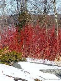 83 best ornamental grasses images on ornamental