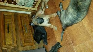 belgian shepherd kennels belgium malinois dutch shepherd puppies in hoobly classifieds