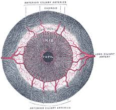 The Blind Spot In The Eye The Tunics Of The Eye Human Anatomy