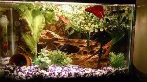 Betta Fish Decorations Betta Care Set Up U0026 Costs U2013 Fox River