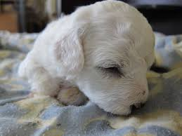 bichon frise 7 weeks old 120 best bichon frise dogs with attitude images on pinterest