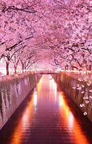 Flowers In Japanese Culture - best 25 japan sakura ideas on pinterest japan cherry blossom