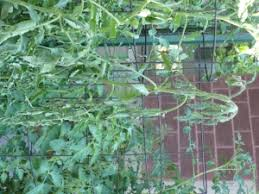 Diseases Of Tomato Plants - tomato diseases