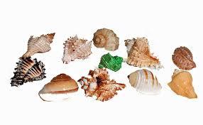 amazon com florida marine research sfm34332 12 pack hermit crab