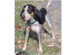 bluetick coonhound kennels in pa georgia adopted dog huntingdon pa bluetick coonhound