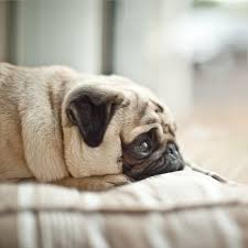 Sad Pug Meme - i freaking love this picture pug pictures animal and dog