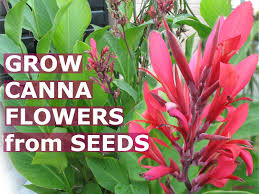 Tropical Looking Plants Growing Canna Tropical Flowers How To Grow Calla Lily Lilies