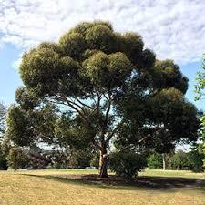 evergreen trees best evergreen trees nurseries