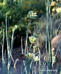 drought tolerant and beautiful desert milkweed the butterfly