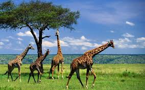 safari tanzania camping safari budget u0026 affordable safari