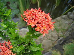 common garden flowers photograph santan native to in