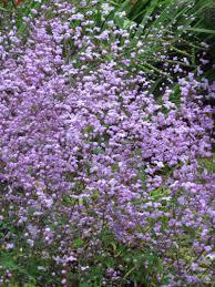thalictrum splendide god is in a garden pinterest gardens