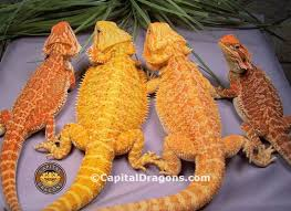 exclusive bearded dragon bloodlines capital dragons canada