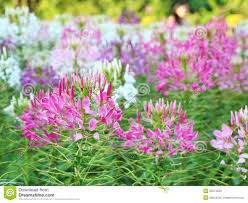 Cleome Flower - spider flower cleome spinosa stock photos image 35974033