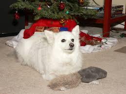 miniature american eskimo dog life expectancy american eskimo dog dog breed information puppies u0026 pictures