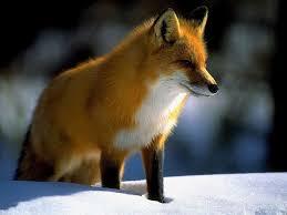 sleeping red fox wallpapers fox wallpaper animal wallpapersafari