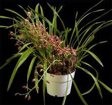 cymbidium orchid cymbidium classic orchid mix