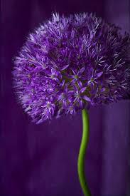 natures doorways purple allium purple lover pinterest