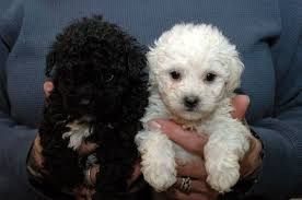different styles of hair cuts for poodles basic grooming guide haircut styles for maltipoo dogs